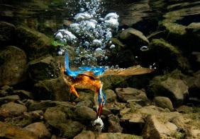 Kingfisher Underwater, by Charlie Hamilton James